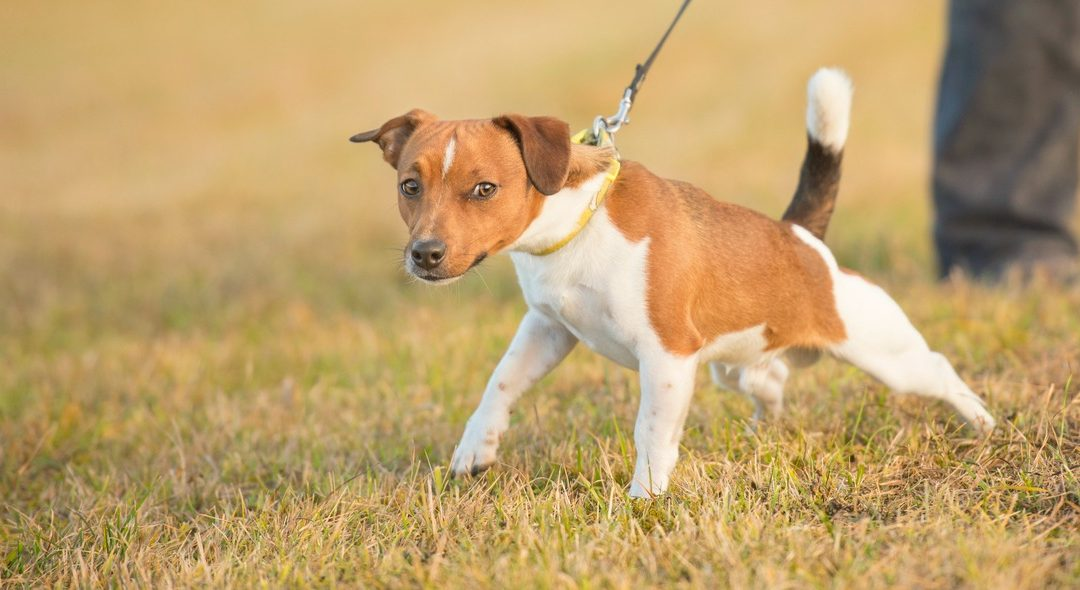 On-Leash Etiquette, Management and Reactivity