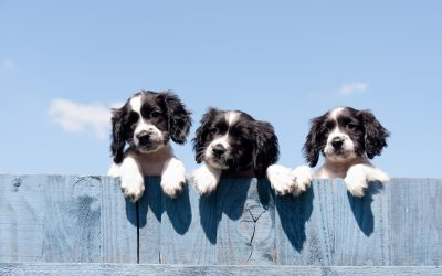 Puppy Socialization and Vaccination – A Balancing Act